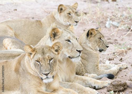 vier Löwen eines Prides, Tansania Poster