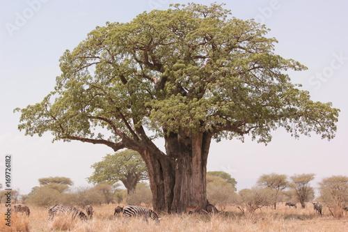 Fotobehang Baobab Serengeti wildlife