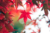 Red maple leaf in Japan during Autumn Season between September to November every year - 169729589