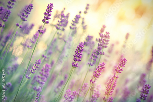 Plexiglas Lavendel Selective focus on lavender flower, lavender flowers lit by sunlight in flower garden