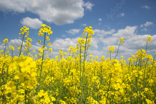 Fotobehang Geel Field of yellow flowering oilseed rape isolated on a cloudy blue sky in springtime (Brassica napus), Blooming canola, bright rapeseed plant landscape at spring. Countryside scene. Agricultural concept