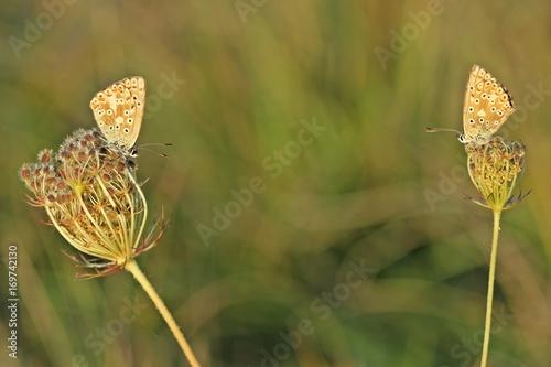 Fotobehang Vlinder Zwei weibliche Silbergrüne Bläulinge (Polyommatus coridon) auf Wilder Möhre