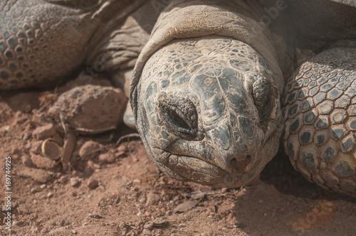 Aluminium Schildpad tortue géante détail tête