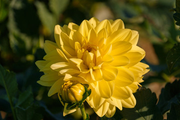 Beautiful yellow dahlia on a field of flowers