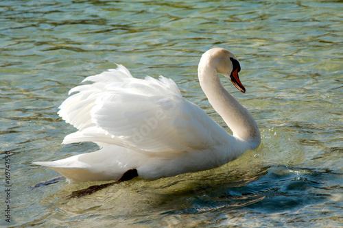Fotobehang Zwaan Single swan swimming in a lake