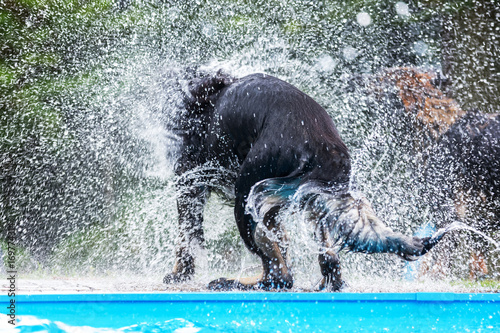 backside of a black dog at a pool who shakes the wet fur