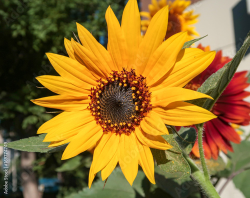 Papiers peints Melon Flower sunflower nature landscape