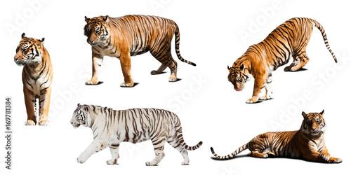 zestaw tygrysów. Pojedynczo na białym