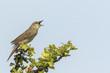 Singing Common Grasshopper warbler bird Locustella naevia mating during spring season