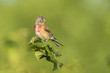 Male Linnet bird with red breast, Carduelis cannabina, singing