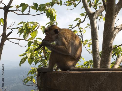 Aluminium Aap Monkey eating in Polonnaruwa Sri Lanka