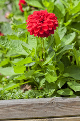 Red dahlia in a flower pot.