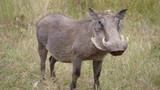 Warthog at the Pilanesberg National Park - 169823757