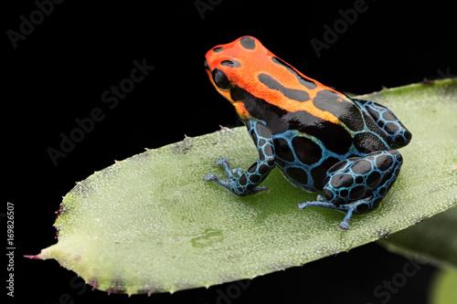 Fotobehang Kikker Amazonian Poison dart Frog, Ranitomeya ventrimaculata, Arena Blanca. Red blue poisonous animal from the Amazon rain forest of Peru. .