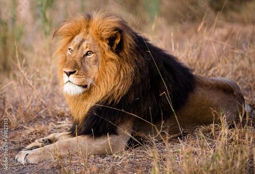 Fotobehang Lion Lion King South Africa