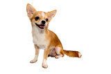 Chihuahua puppy smiles white background.