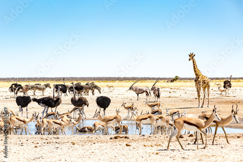 Thirsty Giraffes, Etosha National Park, Namibia  № 1442776 бесплатно
