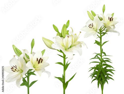 Fototapeta Fresh white lilies