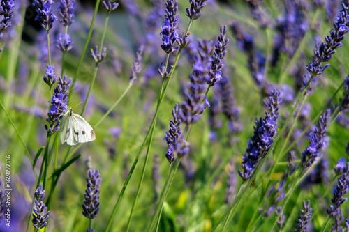 Papiers peints Lavande White butterfly on blooming lavender.