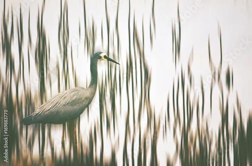 Australian White-faced Heron, Egretta novaehollandiae, wading through river reeds. Digital photo manipulation. - 169883770
