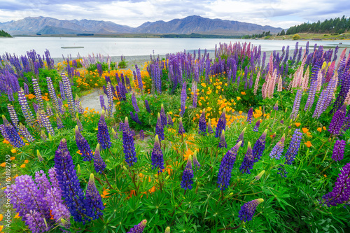 Foto op Plexiglas Groene Landscape at Lake Tekapo Lupin Field in New Zealand