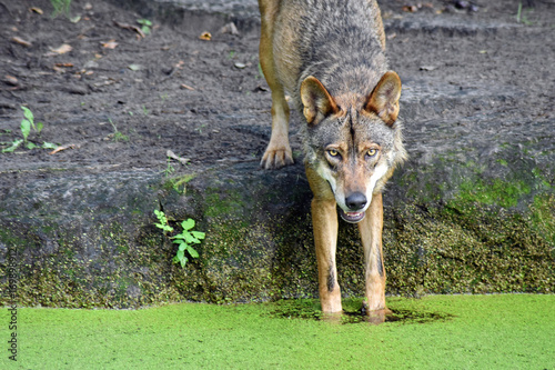 Aluminium Wolf A smiling European Wolf dipping its paws in water