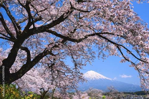 Foto op Canvas Lavendel 富士山と桜