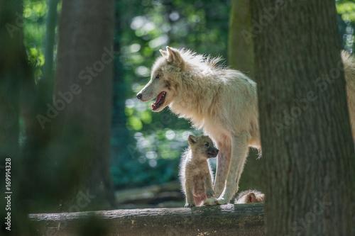 Aluminium Wolf Arktischer Wolf - Canis lupus arctos