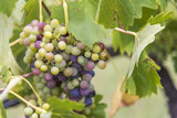 Grapes in vineyard.