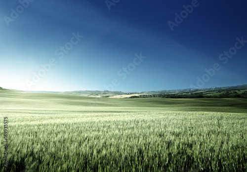 Fotobehang Olijf Green field of wheat in Tuscany, Italy