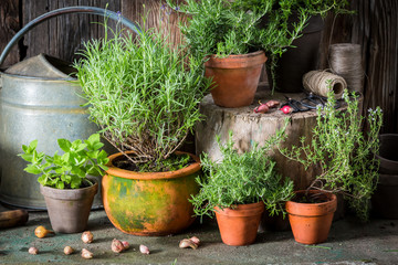 Homegrown and aromatic herbs on the old porch