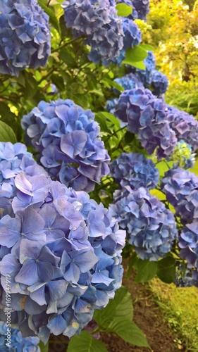 Fotobehang Hydrangea Blaue Gartenhortensie