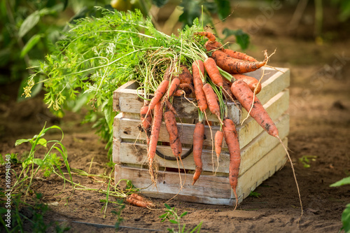 Papiers peints Morning Glory Fresh and bio carrot on old wooden box