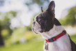 black and white Boston Terrier wearing a red harness