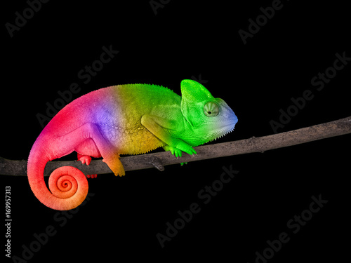 Plexiglas Kameleon Chameleon on a branch with a spiral tail. Bright colorful rainbow color scales