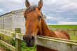 roleta: A beautiful brown horse peers its head over the wooden fence