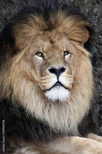 Fotobehang Lion Male Lion