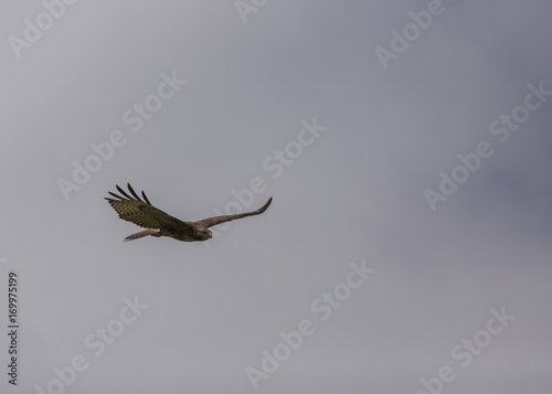 Red tailed hawk soaring with grey clouds in the background Poster