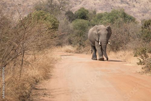 Elefant kommt entgegen Poster