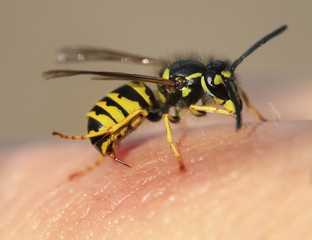 striped angry wasp stuck a sharp thorn in the human skin