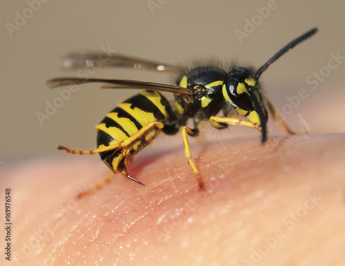 striped angry wasp stuck a sharp thorn in the human skin - 169976548