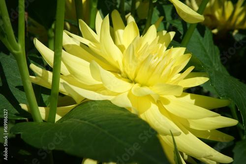 Poster Dahlia Semi Cactus Yellow