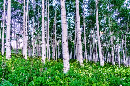Plexiglas Berkenbos aspen grove