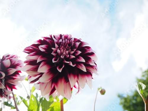 Fotobehang Gerbera lila Blume mit blauem Himmel im Hintergrund