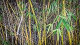 A bush of bamboo