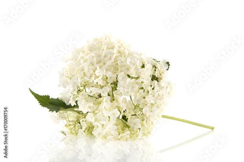 Fotobehang Hydrangea White Hydrangea isolated