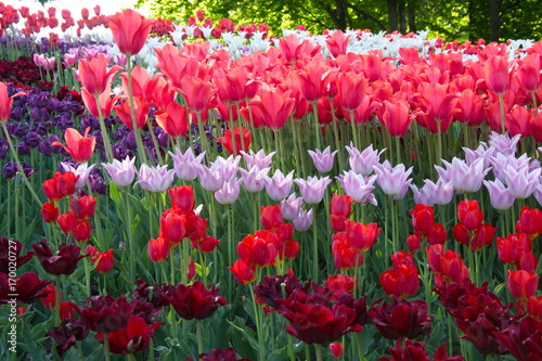 Fotobehang Tulpen forest of multi-colored tulips