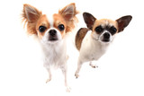 small chihuahua dogs isolated