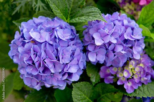 Fotobehang Hydrangea Blue Hydrangeas background.