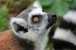 Lemurenaffe schaut nach oben